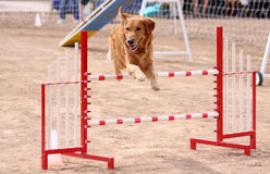 Gold Retriever obstacle course jump. Gold Retriever jumping over an obstacle in agility course royalty free stock photos