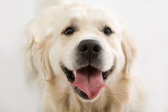 Gold retriever posing in studi Stock Photo