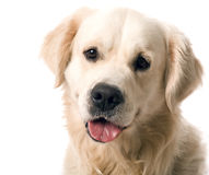 Gold retriever posing in studi Stock Photos