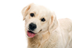 Gold retriever posing in studio Royalty Free Stock Image