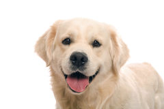 Gold retriever posing in studio Stock Photos