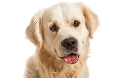 The gold retriever posing in studio Stock Images