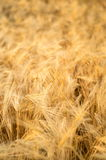 Gold rice fied. With sunset Royalty Free Stock Photography