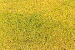 Gold rice field  background Stock Photos