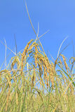 Gold rice field Royalty Free Stock Photo