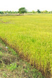 Gold rice plant Royalty Free Stock Photo
