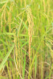 Gold rice plant Royalty Free Stock Photography