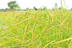 Gold rice plant Stock Images