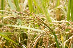 Gold rice spike in rice field royalty free stock photos