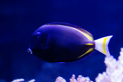 Gold Rimmed Surgeon. Body dark gray, with a bluish tint. The fins and tail spike yellow. Widely distributed in the Indian and Pacific oceans Stock Photos