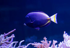 Gold Rimmed Surgeon. Body dark gray, with a bluish tint. The fins and tail spike yellow. Widely distributed in the Indian and Pacific oceans Royalty Free Stock Photos
