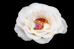 Gold ring with a white rose Royalty Free Stock Photo