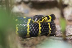 Gold-ringed cat snake royalty free stock image