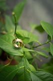 Gold rings on a lemon branch. Stock Photography