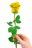 Gold rose in hand Stock Images