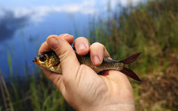 Gold rudd in angler hand Royalty Free Stock Photography