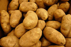 Gold Russet Potatoes royalty free stock images