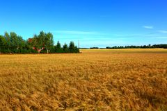 Gold rye field in August. Amazing beauty picture of a gold rye field in august, Swedish suburb royalty free stock photo