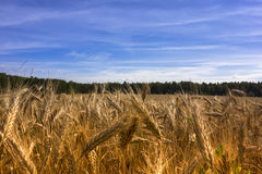Gold Rye Fields Stock Images