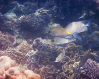 Gold Saddle Rabbitfish Royalty Free Stock Photo