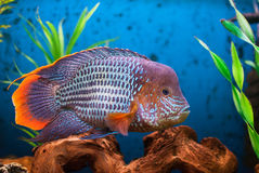 The Gold Saum (Aequidens rivulatus) Stock Photos