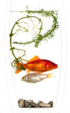 Gold and silver fish trapped in a vase. Gold and silver fish trapped in a small vase with some water weeds and pebbles but with no escape and nowhere to hide stock photo
