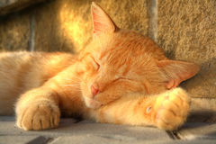 Gold sleeping cat Stock Images