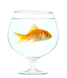 Gold small fish stock photography