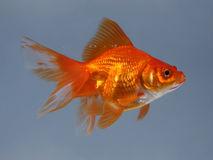 Gold small fish. On blue Stock Images