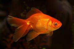 Gold small fish stock photos