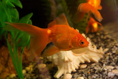 Gold small fish. In an aquarium Stock Image