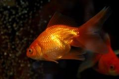 Gold small fish Stock Image