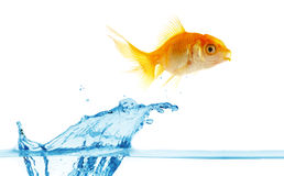 Gold small fish jumps out of water stock image