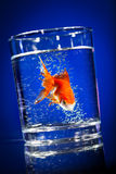 Gold small fish in a water glass Stock Photography