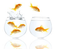 Gold small fishes Royalty Free Stock Photography