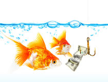 Gold small fishes under water.  Royalty Free Stock Photo