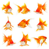 Gold small fishs royalty free stock photos