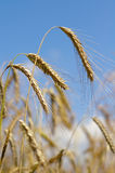 Gold spikelets Stock Photo