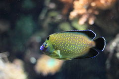 Gold-spotted angelfish. Floating in water Stock Images