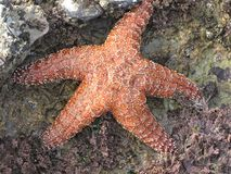 Gold Starfish. In a tidepool on the Palos Verdes Peninsula, California Royalty Free Stock Image