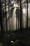 Gold sunbeam shine thru the green forest. Royalty Free Stock Photography