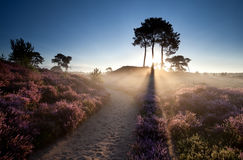 Gold sunbeams over flowering heather Stock Photography