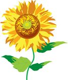 Gold sunflower Royalty Free Stock Images