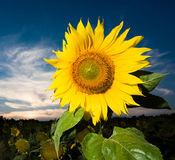 Gold sunflower. A picture of  a gold sunflower  on a background of the dark blue  sky  and  sunset Stock Photos