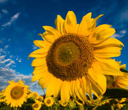 Gold sunflowers on a background of the blue sky Stock Photos
