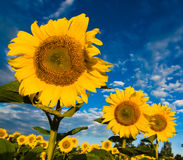 Gold sunflowers on a background of the blue sky Stock Photography