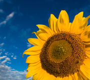 Gold sunflowers on a background of the blue sky. A green and yellow plantation of gold sunflowers  on a background of the dark blue cloudy sky Royalty Free Stock Image