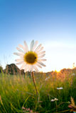 Gold sunlight behind chamomile flower Stock Photos