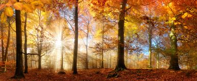 Gold sunrays in a misty autumn forest Royalty Free Stock Photos