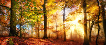 Gold sunrays in a misty autumn forest. Rays of gold sunlight in a misty forest with warm vibrant colors in autumn Royalty Free Stock Image